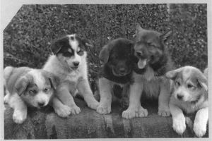 puppies sled team