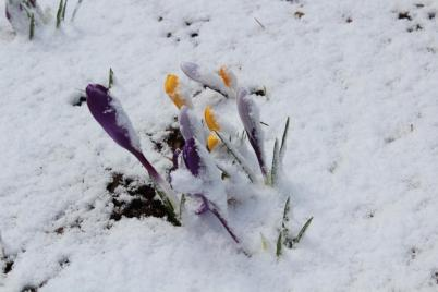snow on crocus
