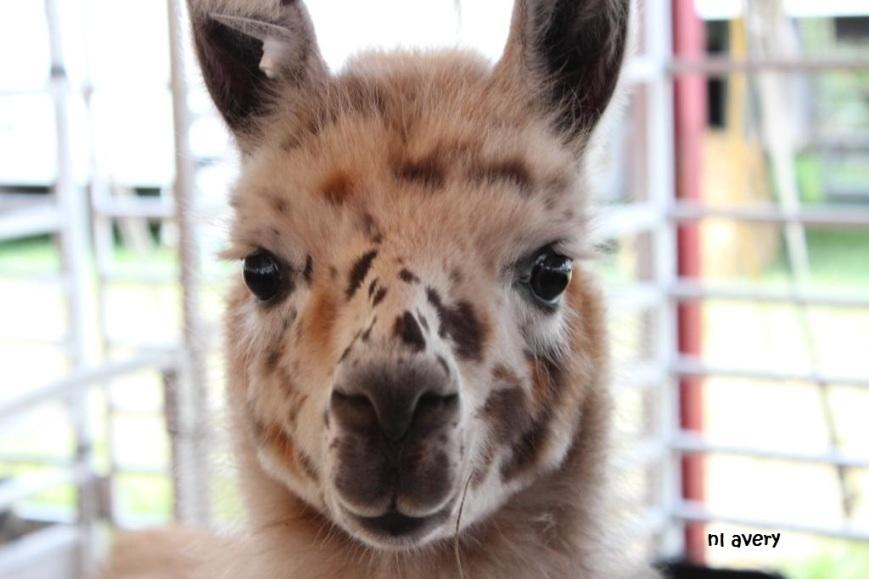 llama small signed